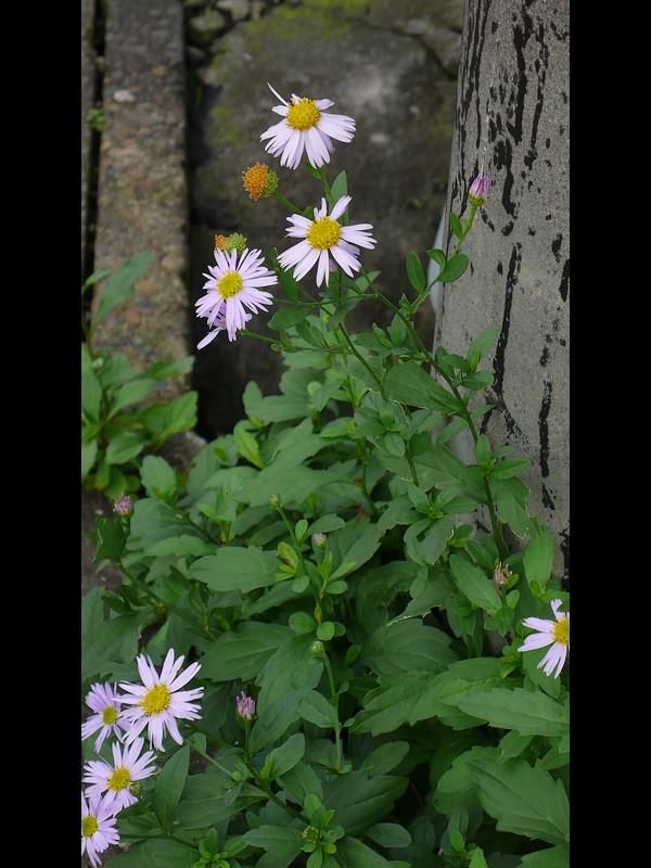 カントウヨメナ 陽光地競合なし状態 ぎざぎざ舌状花の全景