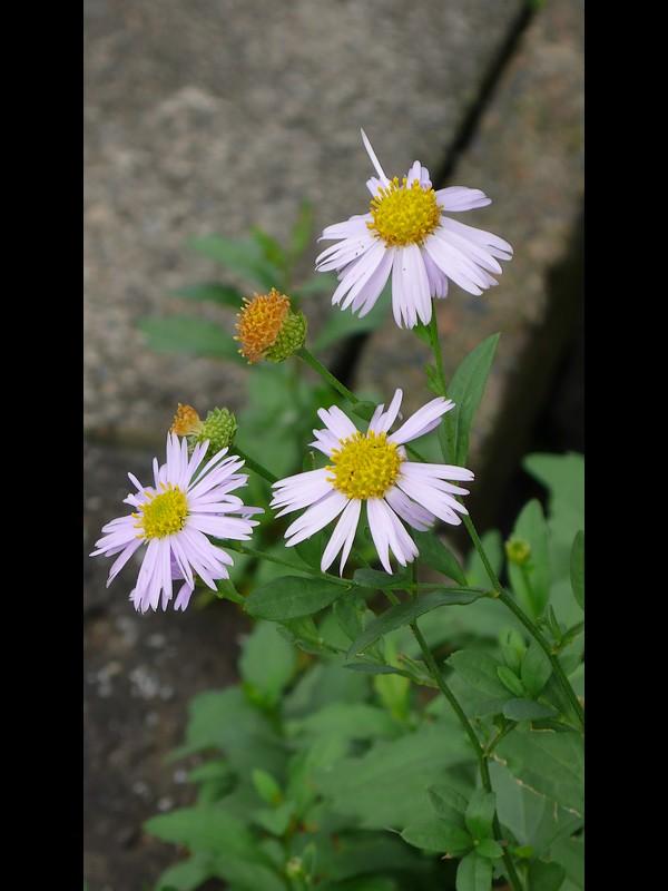 カントウヨメナ 陽光地競合なし状態 ぎざぎざ舌状花の頭花