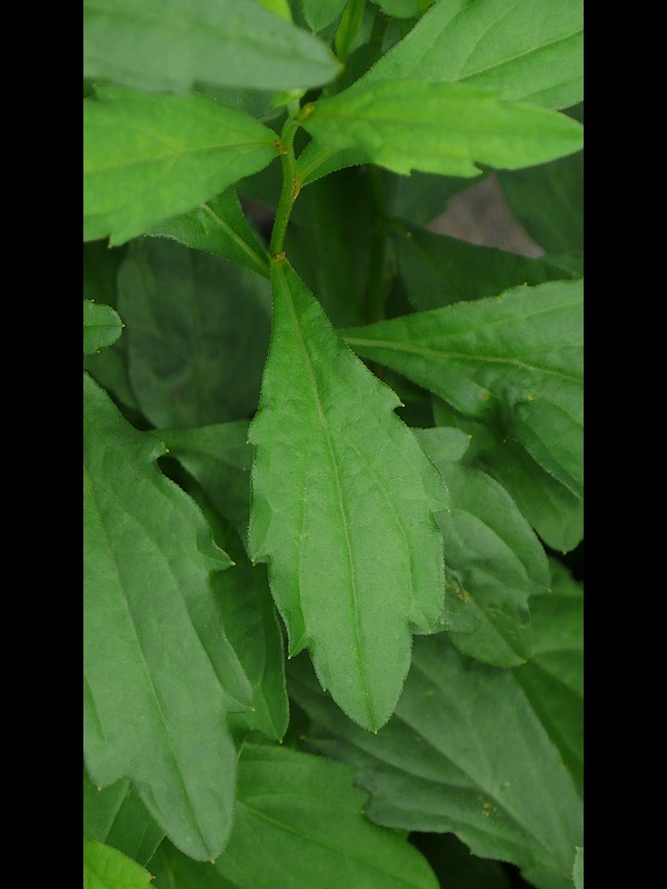 カントウヨメナ 陽光地競合なし状態 ぎざぎざ舌状花の葉