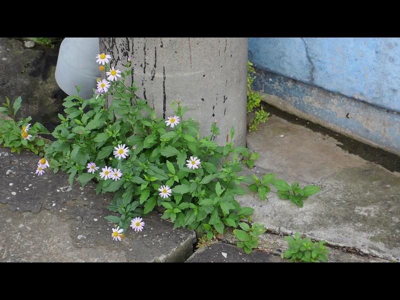 カントウヨメナ 陽光地競合なし状態 ぎざぎざ舌状花の一叢