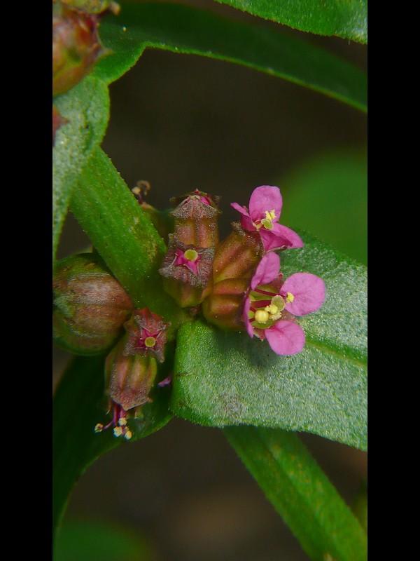 ホソバヒメミソハギ 花