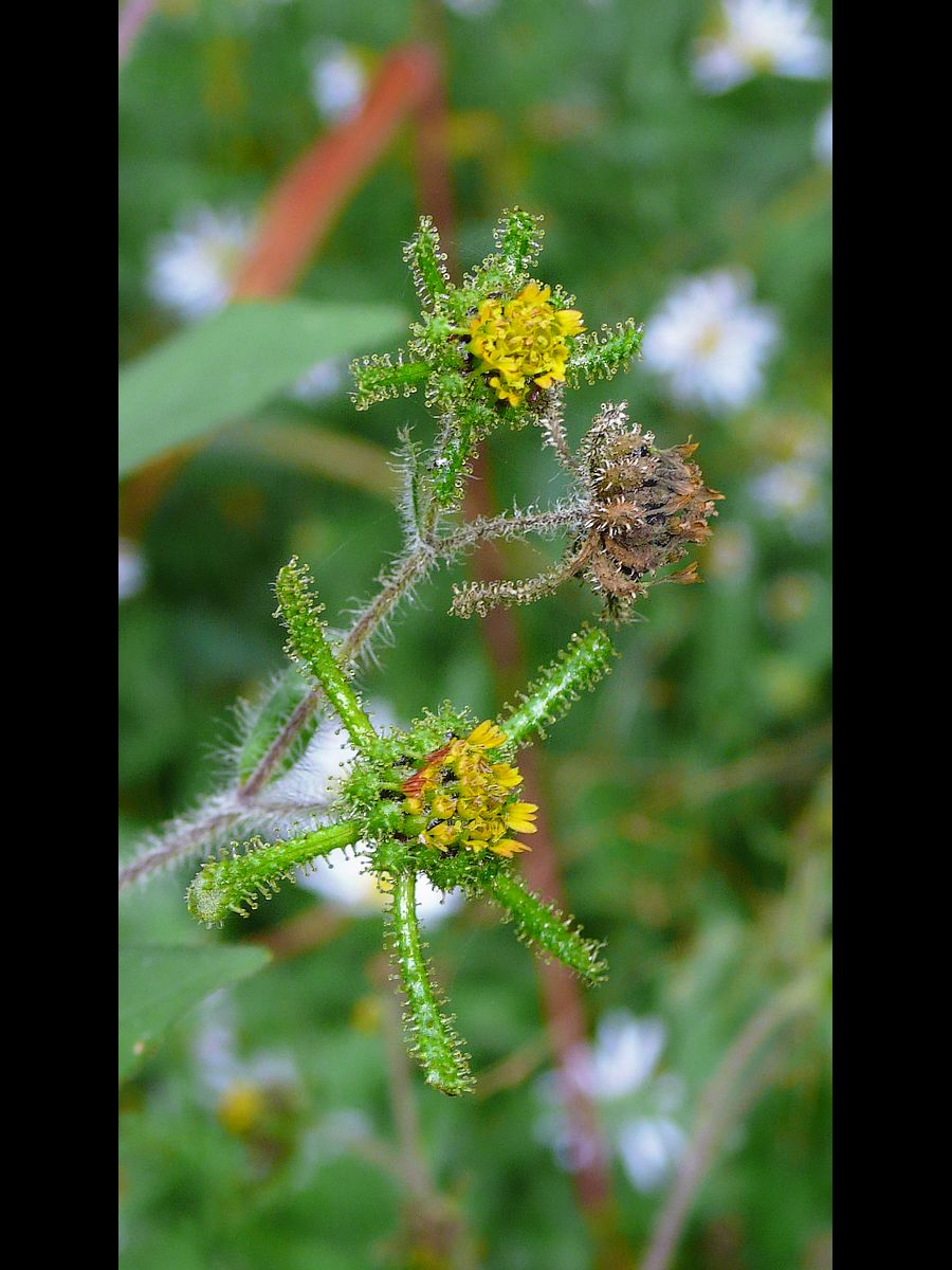 メナモミ 花序周辺