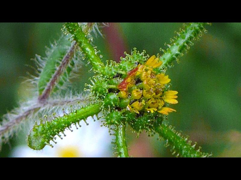 メナモミ 頭花