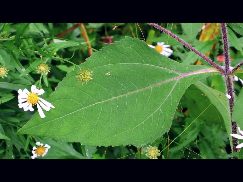 メナモミ 葉
