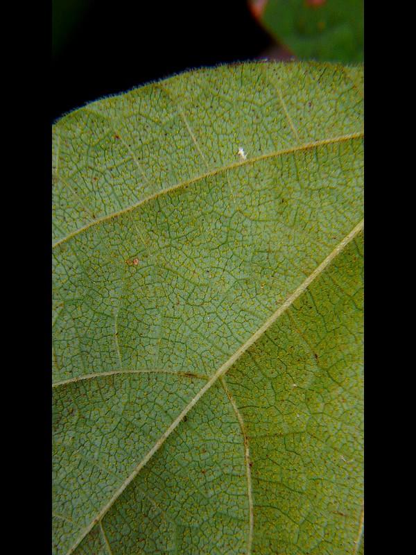 トキリマメ 葉裏の黄色い腺