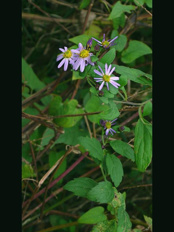 ノコンギク 濃い目の色の花の時期