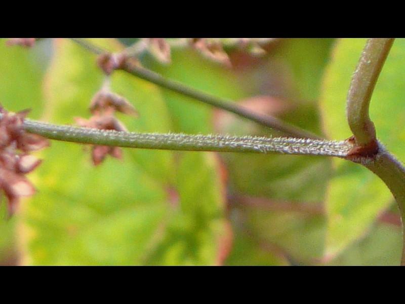 シャクチリソバ 花柄の上面
