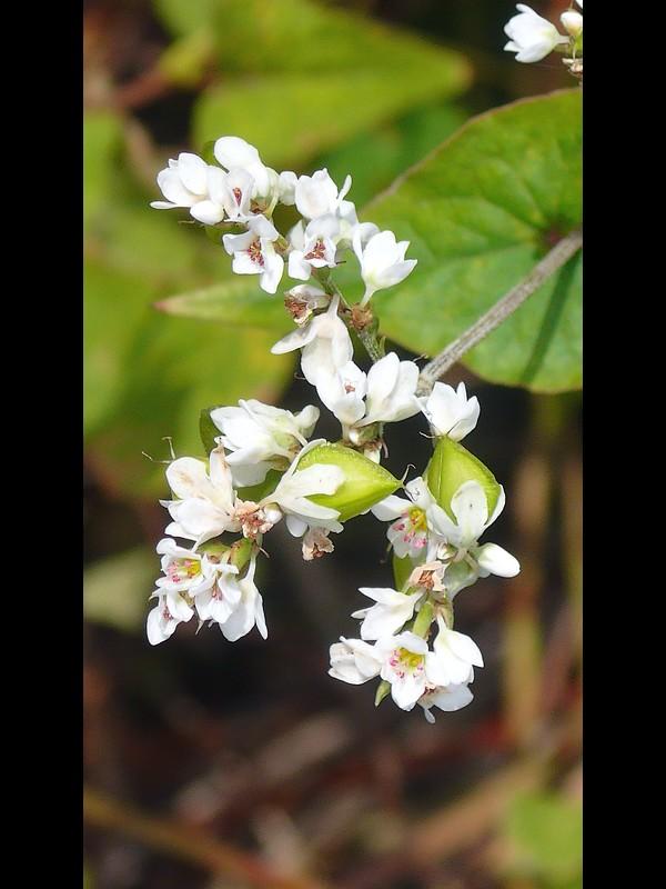 シャクチリソバ 花と若い果実