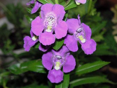 アデッサの花