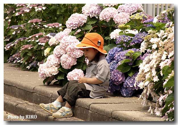 紫陽花と少女