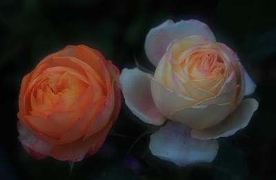rose700.