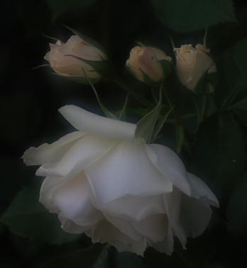rose701