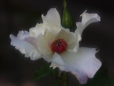 rose702