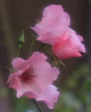 rose703