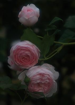 rose800