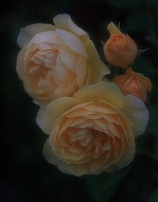 rose801