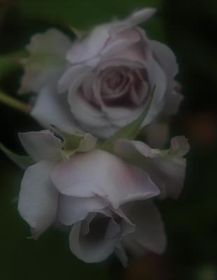 rose802