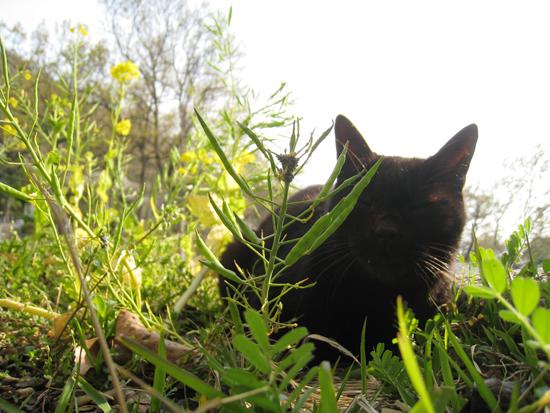 菜の花後猫もよう:春の写真