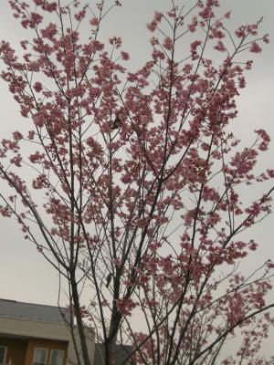 住宅地の桜