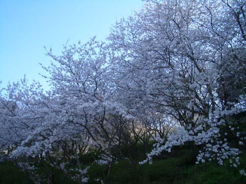 桜だより2