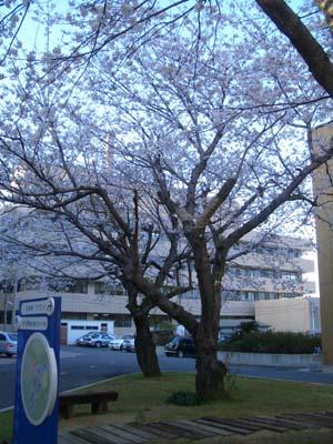 桜だより3
