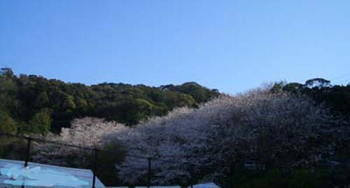 桜だより4