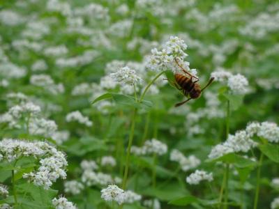 ソバの花にとまるハチ