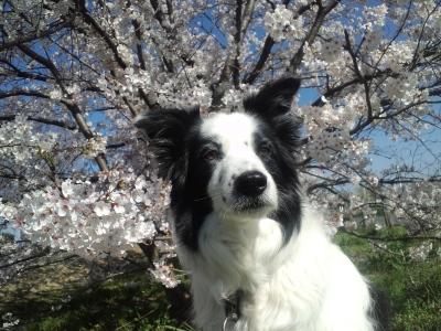 桜とビアンカ