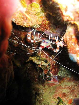 タオ島 魚 オトヒメエビ