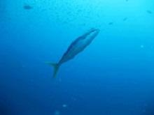タオ島 ダイビングブログ ツムブリ