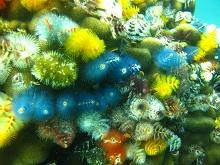 タオ島 ダイビング イバラカンザシ