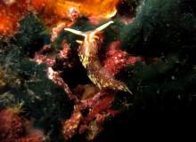 タオ島 ダイビング ヒブサミノウミウシ