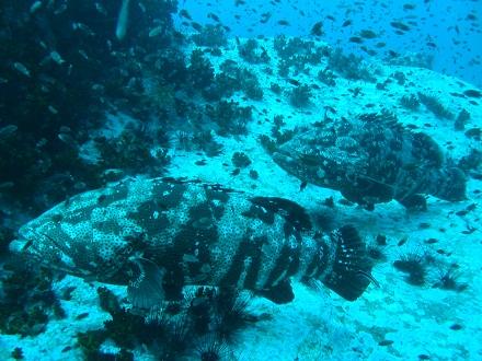 タオ島 ダイビング ヤイトハタ チュンポン