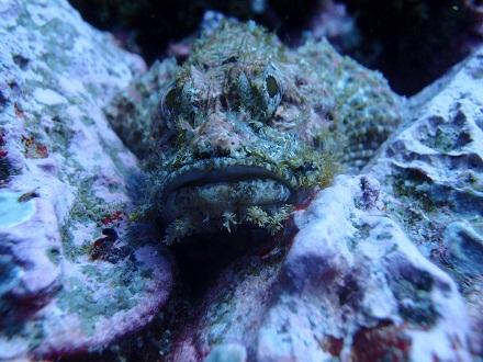 タオ島 ダイビング カサゴ チュンポンピナクル