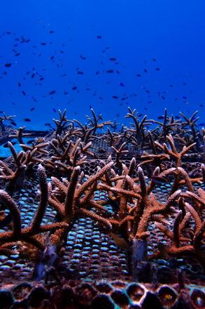 タオ島 ダイビング サンゴ 養殖