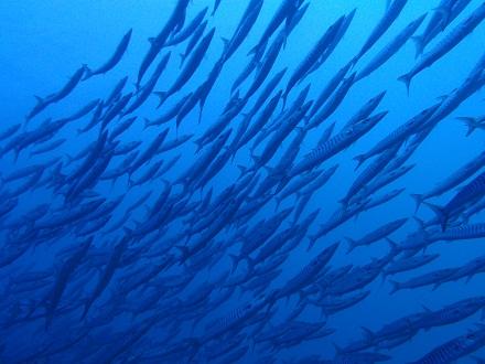 タオ島 ダイビングブログ シェベロンバラクーダ