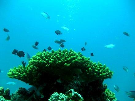 タオ島 ダイビング サンゴ