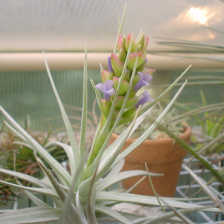 strictaalbifolia