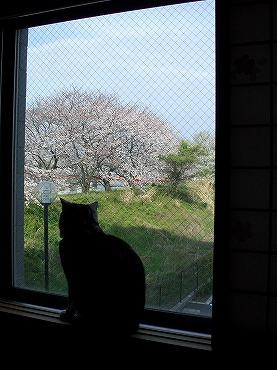 0305桜 002