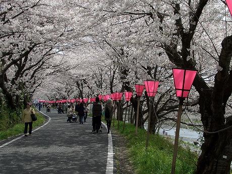 0305桜 059