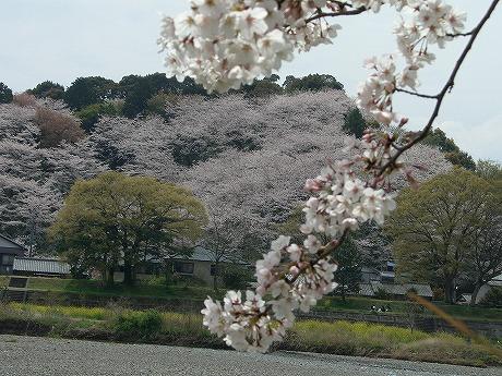 0305桜 043