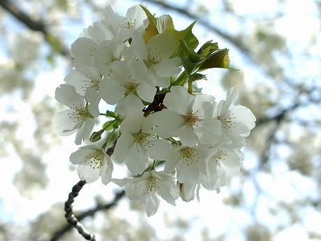 0305桜 075