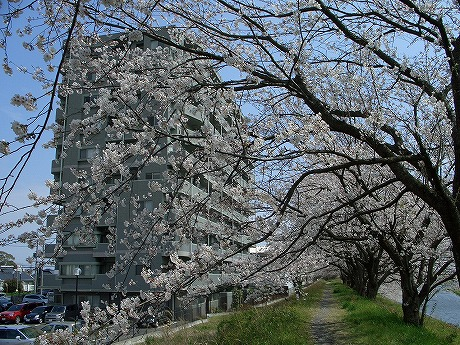0305桜 108