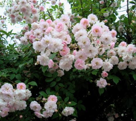 ピンクのかわいいバラ