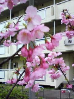 michirunsakura.jpg