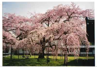 醍醐寺桜4