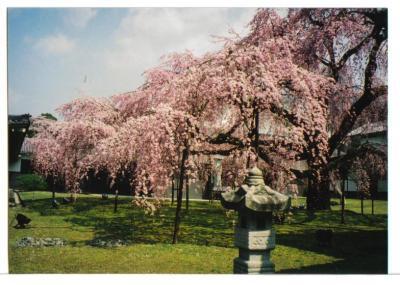 醍醐寺桜5