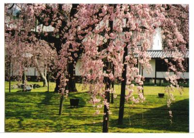 醍醐寺桜6