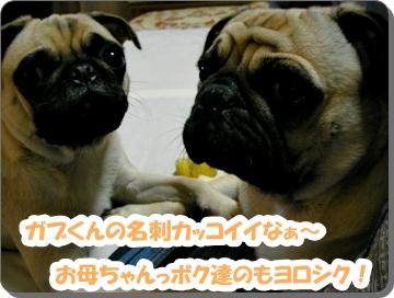 パグ画像 伝助&音美 名刺を欲しがる!