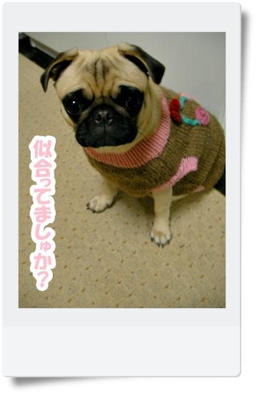 パグ画像 ばあばお手製のセーター試着♪
